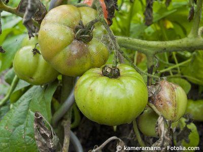 Tomatenkrankheiten